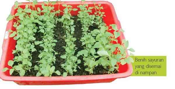 Memilih, Menyiapkan, Menebar Benih  Sayuran