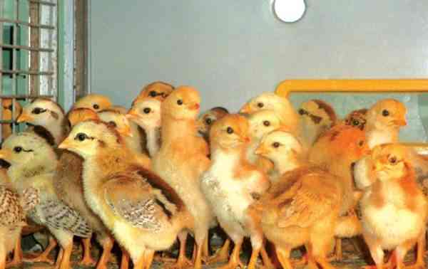 Pakan Ayam Sumber Energi Pendukung.