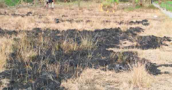 Penggemburan Tanah Untuk Bertanam Cabai