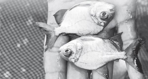 Penyakit Ikan Tawar yang Disebabkan oleh Bakteri
