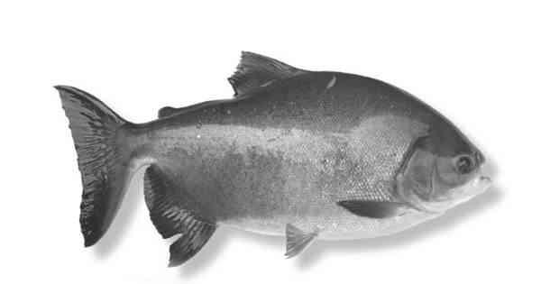 Penyakit Ikan Tawar yang Disebabkan oleh Copepoda