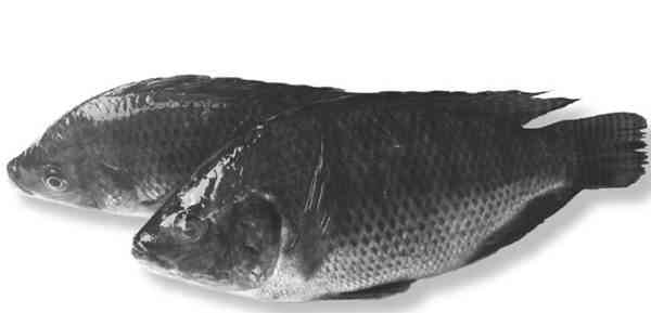 Penyakit Ikan Tawar yang Disebabkan oleh Protozoa