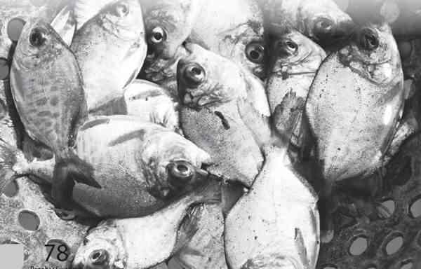 Penyakit Ikan Tawar yang Disebabkan oleh nematoda