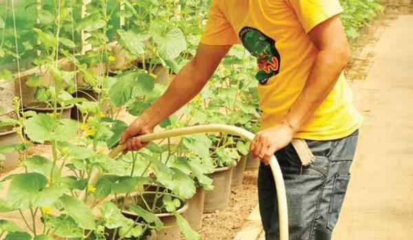 Penyiraman Tanaman Melon