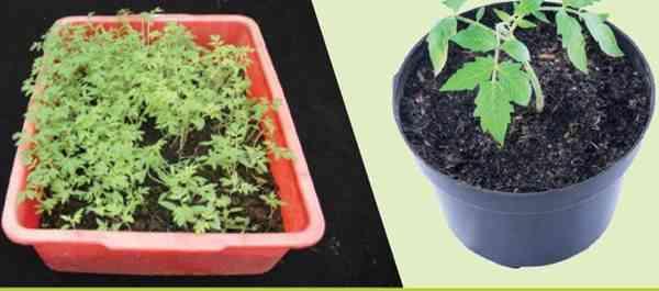 Perawatan Persemaian Sayuran