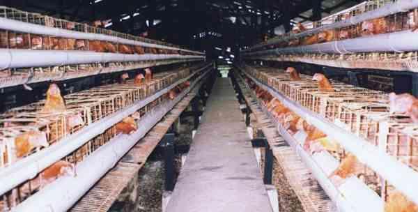 Perkandangan Ayam Ras Petelur