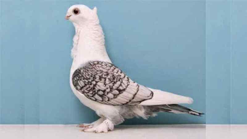 Prospek Menguntungkan Bisnis Burung Merpati Hias