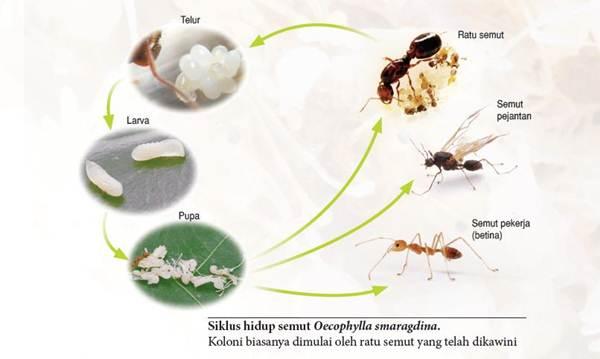 Rahasia Koloni Semut Rangrang