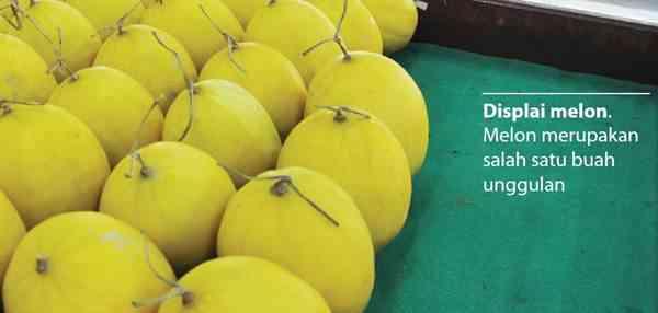Sekilas Tentang Tanaman Melon