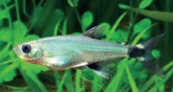 Aphyocarax paraguayensis