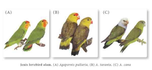 Ketahui Jenis dan Asal Lovebird