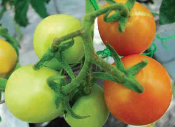 Menyiapkan Benih  Tomat Sendiri