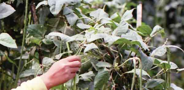 Pahami Teknik Pemanenan Kacang Panjang  yang Efektif