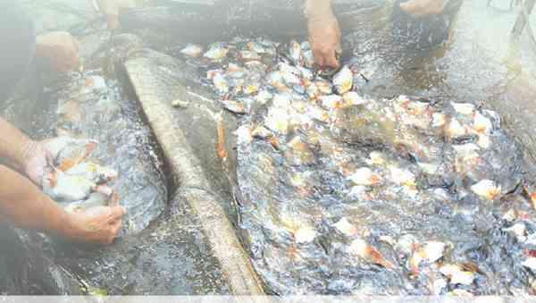 Pasar Benih Ikan Terbuka Lebar