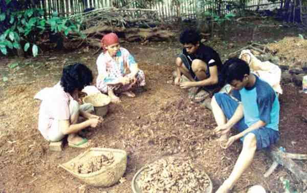 Pemanenan dan Sortasi Bibit Jahe