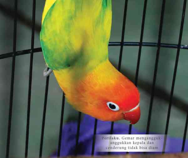 Perilaku dan Karakter Lovebird