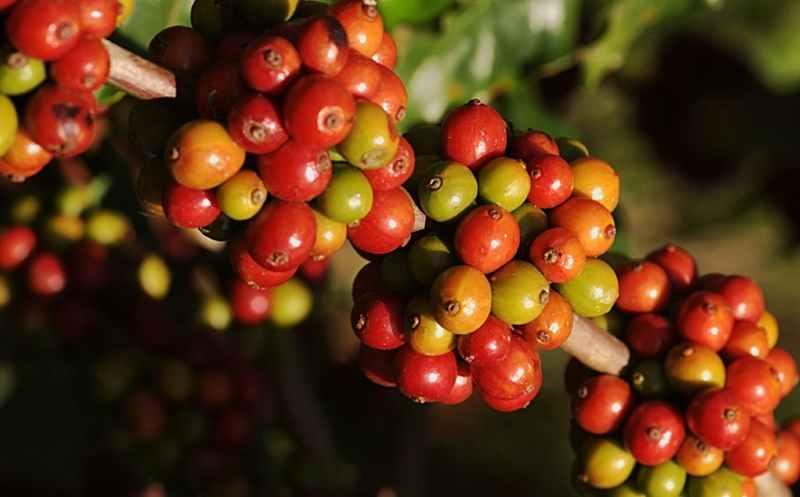 pertumbuhan-bunga-kopi