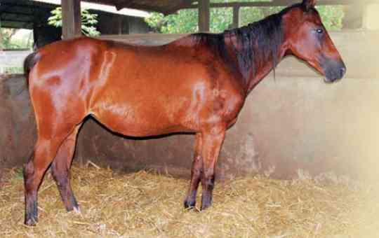 Sistem Pernapasan Kuda