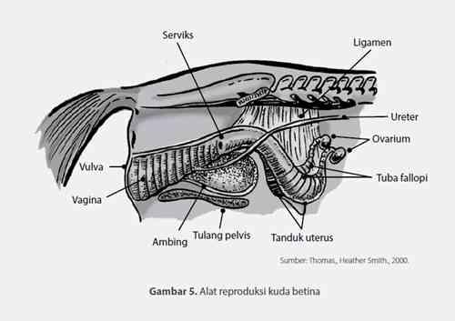 Sistem Reproduksi Kuda