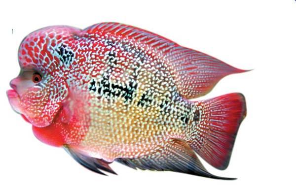 Apasaja Kelebihan Lou Han Sebagai Ikan Hias Peliharaan