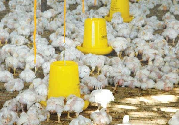 Asal Ayam Pedaging