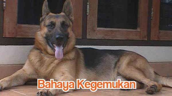 Bahaya Kegemukan Anjing