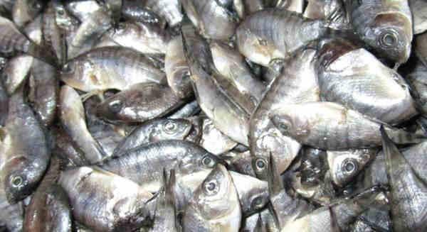 Biologi Ikan Nila