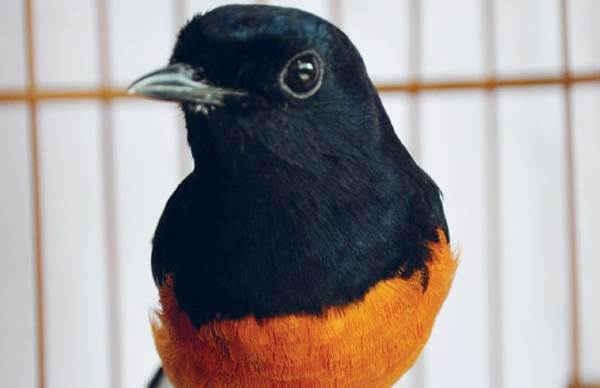 Burung Kelas Petarung