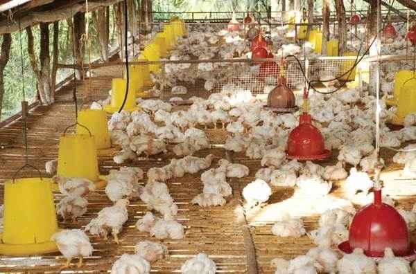 Instalasi Tempat Pakan Ayam Pedaging