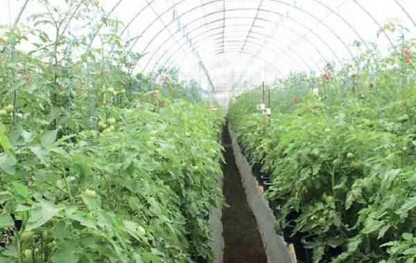 Keuntungan Bertanam Tomat di Dalam Pot