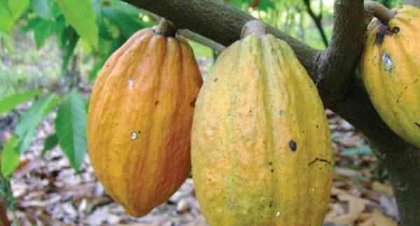 Keuntungan Usaha Kakao yang Menarik