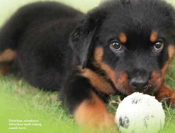 Mengapa Anjing Perlu Dilatih