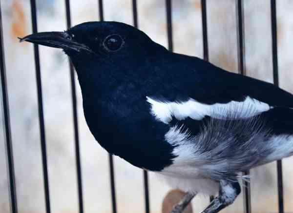 Nyanyian Burung Kacer