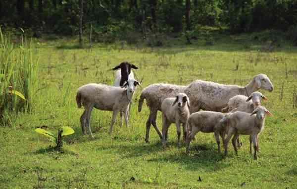 Pemberian Pakan Domba dengan Cara Digembalakan
