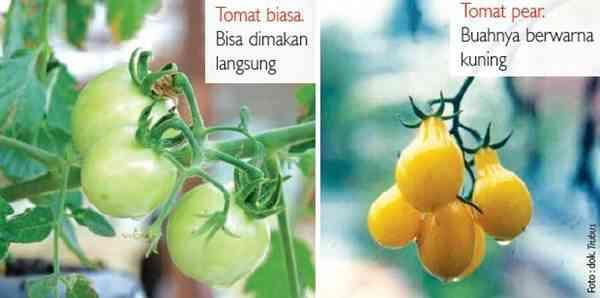 Penggolongan Varietas Tomat Secara Tidak Resmi