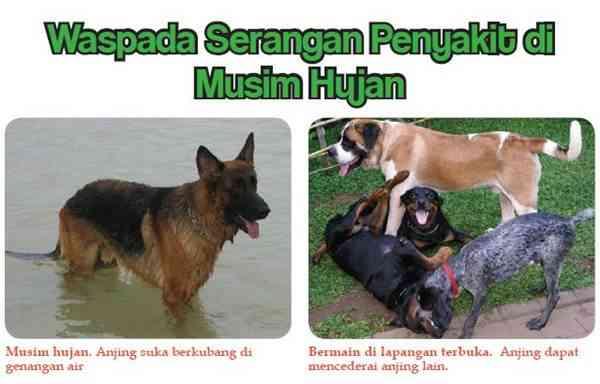 Waspada Serangan Penyakit Anjing di Musim Hujan