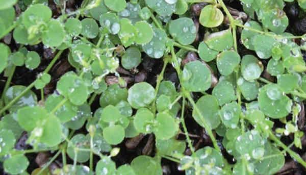 Hasil gambar untuk tanaman cemplonan
