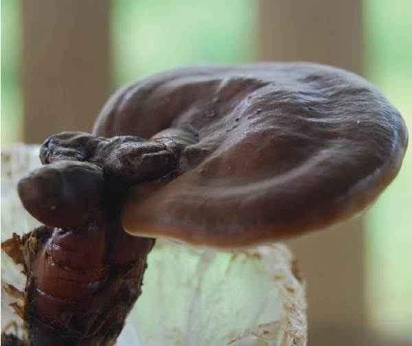 Domestikasi Jamur Di Dunia