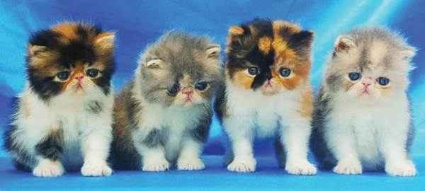 Pertimbangan Sebelum Membeli Kucing