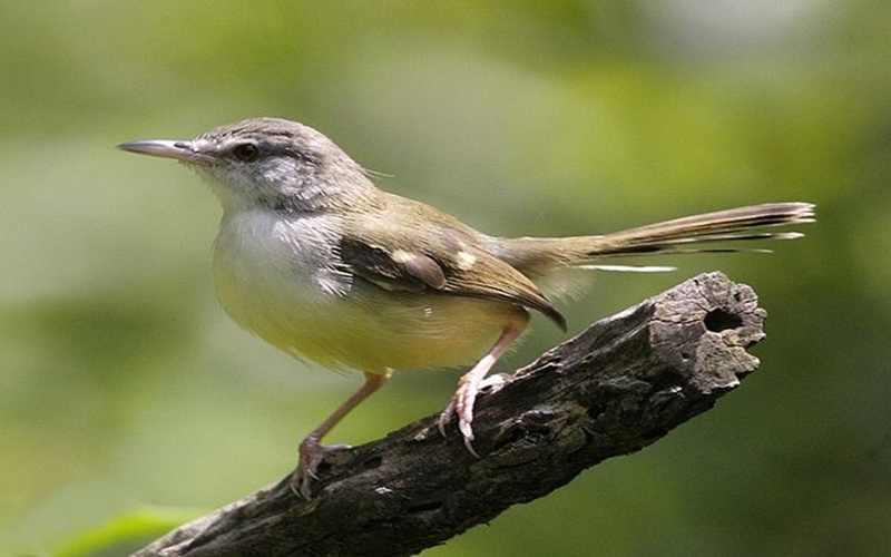 Mengenal Perilaku Burung Seriti