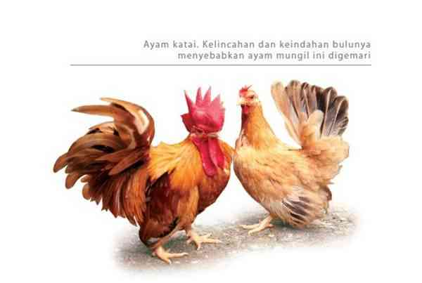 Ayam Katai