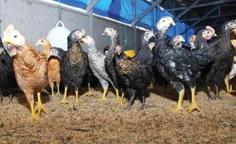 Ayam kampung 4