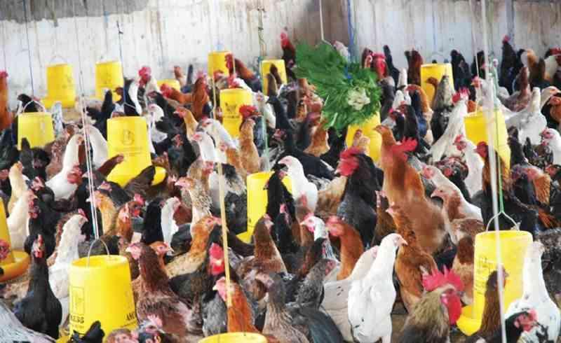 Ayam kampung 5