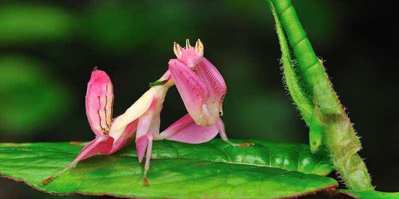 Belalang ini Terlihat Lebih Indah dari Bunga