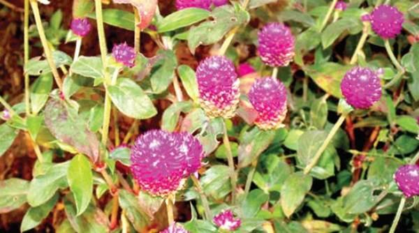 Bunga Kenop