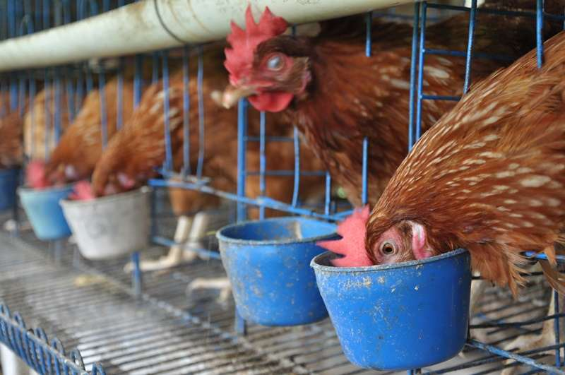 Pemeliharaan Ayam Ras Petelur