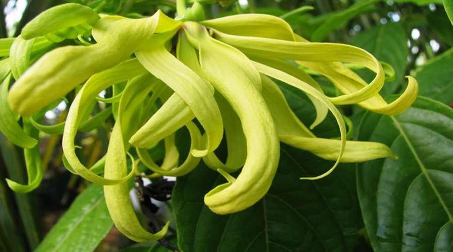 Khasiat Dan Manfaat Bunga Kenanga