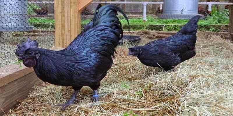 Mengenal Ayam cemani