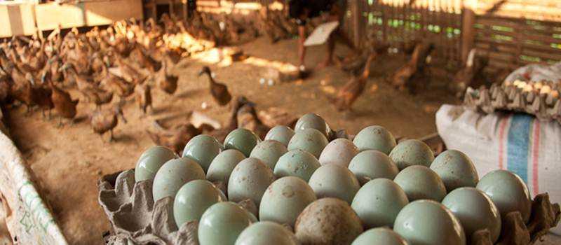 Omset Ratusan Juta Per Hari dari Produksi Telur Bebek