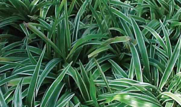 Apa Itu Ophiopogon dan Apa Manfaatnya Untuk Kesehatan?